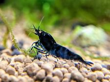5+1 Orange Eye Royal Blue Tiger Shrimp_Caridina_Taiwan Bee_Live Aquarium Shrimp