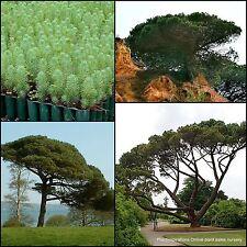 6 Pine Nut Fruit Trees Plants Pinus pinea Italian Stone Umbrella Herb Edible