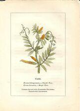 Stampa antica PIANTE DELLA BIBBIA VECCIOLA Ervum 1842 Old antique print