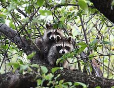 METAL MAGNET Two Young Raccoons In Tree Raccoon MAGNET