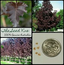 20+ PURPLE LEAF BIRCH TREE SEEDS (Betula purpurea) Beautiful Popular Deciduous