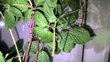 Ramulus nematodes blue nymphs stick insects bug invertebrates