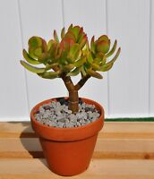 "Crassula Ovata variegated Lemon and lime Jade bonsai house office plant 6"" to 8"""