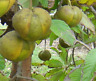 MANZANA de ELEFANTE deliciosa fruta 5 semillas seeds