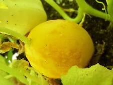 """Gurke """"gelber Würzer"""" gelbe Gurke, sehr gut Aroma, Massenträger,keine F1 Cucumis"""