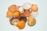 "Orange Pecten Sea Shell Beach Craft Scallop 2"" - 3"" (16 pcs ) #JC-31"