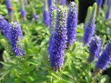 Veronica Blue Shades Seed (Speedwell Hybrid) Perennial Lge Flower Heads 4 months