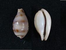 "Cypraea hungerfordi bealsi f. lovetha, 27 mm, F+++/GEM, ""RARE"""