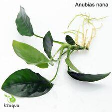 La Anubias Nana planta arraigada para Madera Bogwood Hardy en Vivo Acuario Plantas Acuáticas