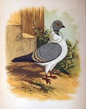 """Fancy Pigeon """" The Triganica Or Modena """" By James C. Lyell Poster Art 13"""" X 19"""""""