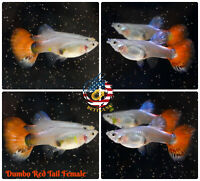 Female Only - Live Aquarium Guppy Fish High Quality - Dumbo Red Tail