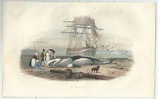 1839 REQUIN acquaforte gommata pesca shark selachimorpha squalo haie fishing
