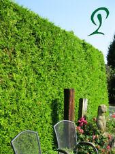 Thuja Brabant 140-160 cm inkl. Versand 45 x Lebensbäume 685,- €. Heckenpflanzen