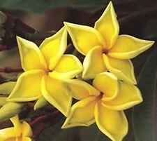 "5 Fresh Seeds Frangipani PLUMERIA RUBRA ""Bali Palace"""