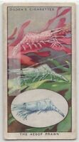 Aesop Prawn Color Changing  Crustacean Shrimp  85+ Y/O Trade Ad Card