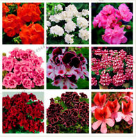 100 PCs Rare Geranium Seeds Variegated Geranium Potted Garden Flower Dwarf Trees