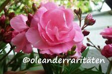 Oleander  SPLENDENS GIGANTEUM 50-60cm 3l Topf rosa gefüllt  riesige Blütenbälle