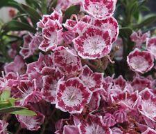 Kalmia latifolia Myrtifolia, Berglorbeer, Blüte weiß-dunkelrosa, immergrün