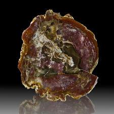 "10.4"" 3.8LB Red PETRIFIED WOOD Polished Slice +Detailed Bark Madagascar for sale"