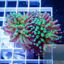 Unique Corals WYSIWYG, Green Tip Hammer