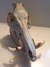 Rare Wild Boar Skull Look At This Bad Boy!