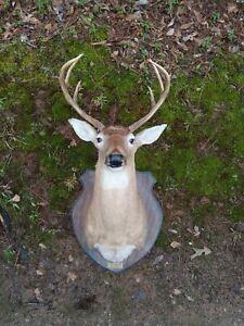 8 Point Whitetail Deer Head Mount Taxidermy Antler Buck Shoulder Montana 🦌