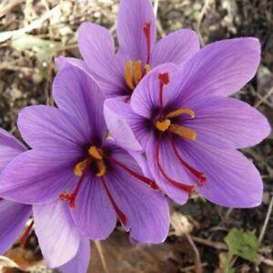 5 X SAFFRON CROCUS SATIVUS FLOWERING WORLD SPICE FLOWERS BULBS AUTUMN GARDEN