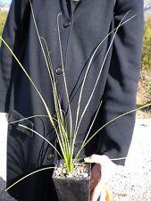 DASYLIRION TEXANUM vq Dasylirio texano Texas sotol pianta succulent plant