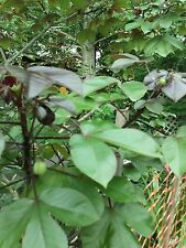 JATROPHA GOSSYPIFOLIA AKA BELLY ACHE BUSH BEAUTIFUL SEE PICTURES PLANT  30 SEEDS