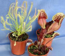 3 CARNIVOROUS PLANTS COLLECTION: Red Venus flytrap; Sarracenia purpurea & Sundew