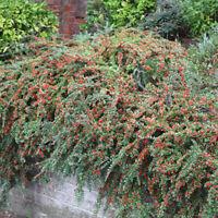 Cotoneaster froebelii Rare Shrub or hedge plant in 9cm Pot