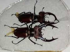Lucanidae 2 Lucanus elaphus Males 58mm & 54.7mm Indiana Elephant Stag Beetle #2