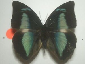 Real Insect/Butterfly/Moth Set Spread B7817 Rare Blue Female Prepona amphimathus