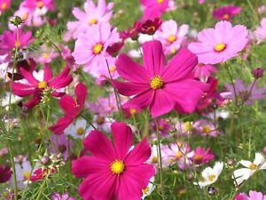 200 Pcs Cosmos Bipinnatus Seeds