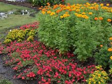 """200+AFRICAN MARIGOLD Seed X-Tall 4""""Blooms Summer Fall Yellow Gold Orange Flowers"""