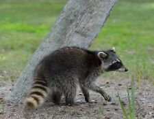 METAL MAGNET Raccoon Walking Near Tree Raccoons MAGNET