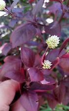 Little Ruby Joseph's Coat Alternanthera dentata  100+Seeds  Groundcover  Bush