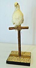 TAXIDERMIE ANCIEN OISEAU  TAXIDERMY CUCKOO BIRD