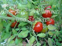 🔥 🍅 TUMBLING TOM rot 10 Samen Zimmer Ampel Tomate Tomaten Balkon Hängetomate