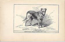 1900 Uk Original Dog Art Pen & Ink Print Rh Moore Champion Smooth Coated Collie