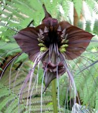 verrückt: Blumen die aussehen wie Fledermäuse - schön !