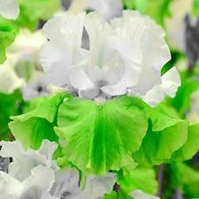 Butter Green Flowers Iris Bulbs 2 BeardedPerennial Resistant Garden Plants Home