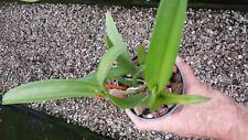 Orchid BC Maikai Mayumi X Pot Free Spirit x Pot 24 Karat Lea near spike plant