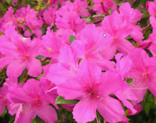 Azalea 25 Live Plant Cuttings Pink Flower Ornamental + Propagation Guide