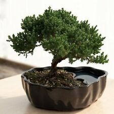 Juniper Bonsai Flowering House Tree Plant Indoor Garden Best Gift Yard Home Gift