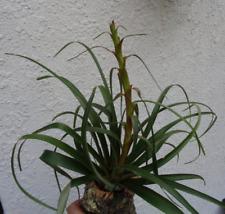 Large Tillandsia Foliosa Air Plants