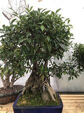 Zimmerbonsai Ficus großer Solitär Bonsai pflegeleicht