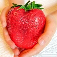 100 Seeds Red Giant Strawberry Unique Fruit Plant Home Garden Farm Pot DIY UK