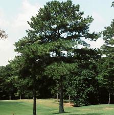 Loblolly Pine, pinus taeda    100 seeds.    trees, seeds
