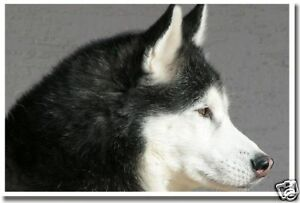 Husky Dog - Puppy Pet Animal Print           NEW POSTER